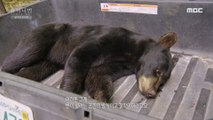 [HOT] check the health of a bear, 창사특집 다큐멘터리 휴머니멀 20200116