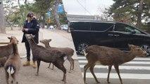 The Street Deer of Nara Japan | Whoa! That's Weird