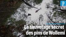 Des arbres préhistoriques sauvés des flammes lors d'une mission secrète en Australie