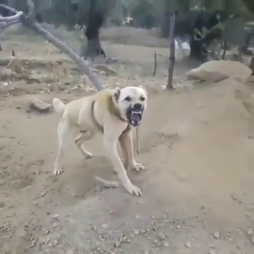 MAKiNE COBAN KOPEGi - ANATOLiAN SHEPHERD DOG