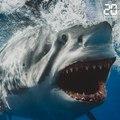 Requins: Des «mangeurs d'homme», myhe ou réalité?