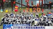 La Chine présente 20 bébés pandas à l'approche du Nouvel An chinois