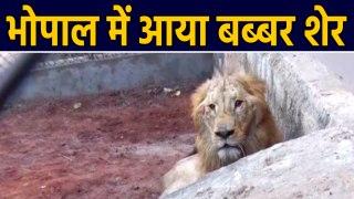 Bhopal के  Van Vihar में दो बब्बर शेर  का Pair आया, देखिए Video | वनइंडिया हिंदी