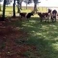 Un bouc et une vache se font une charge tête contre tête