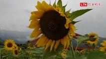 向日葵盛開了! 玉里客城花海、稻草遊樂園玩起來