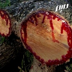 شجرة دم الأخوين الأسطوريّة في سُقطري