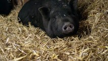 Polish Farmer's Own Pigs May Have Eaten Him