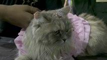 고양이의 '패션쇼'...인도 반려동물 페스티벌 / YTN