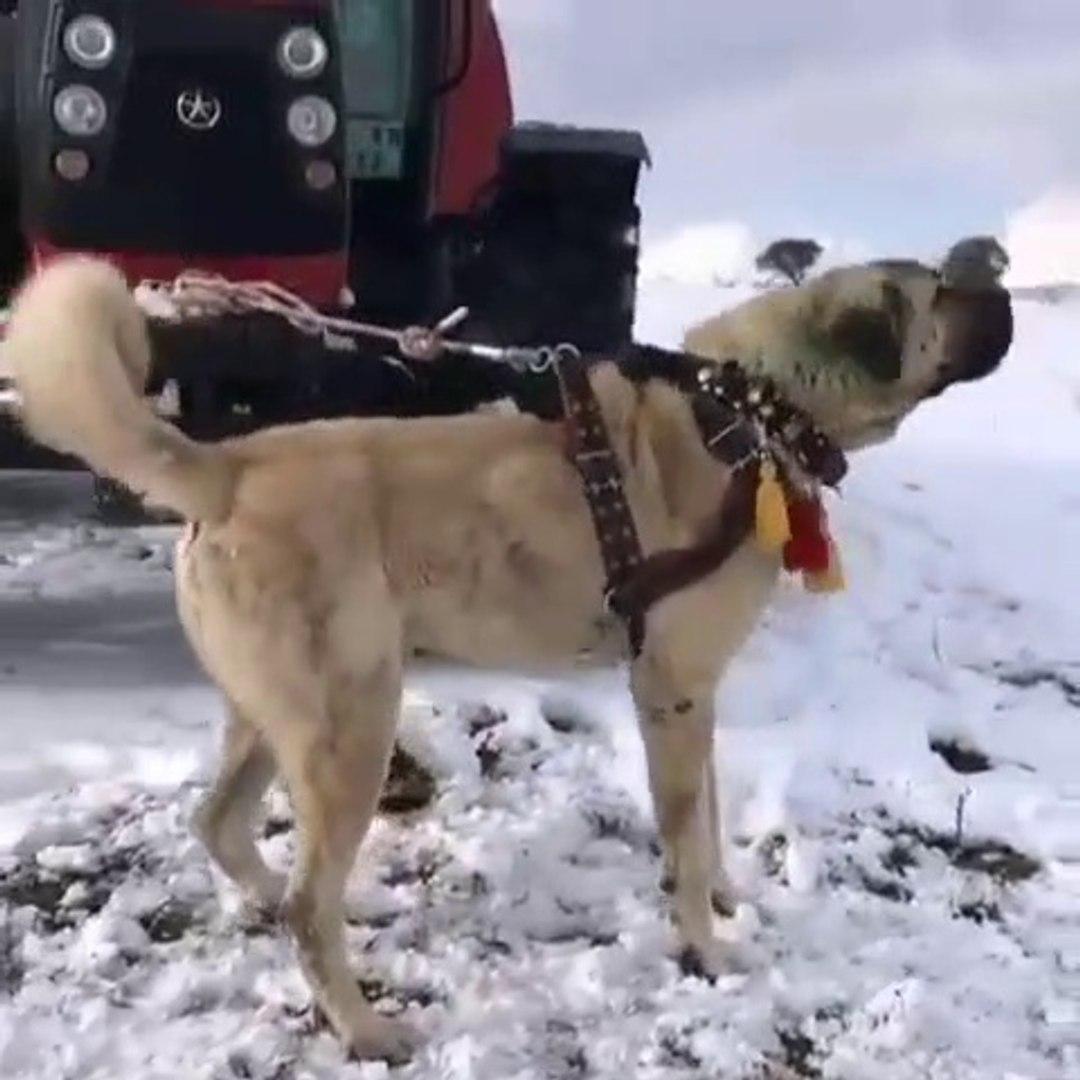 ANADOLU COBAN KOPEGiNDEN ALAN KORUMA - ANATOLiAN SHEPHERD DOG