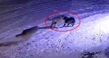 Aç kurtların çoban bekçi köpeğini parçaladığı anlar kamerada