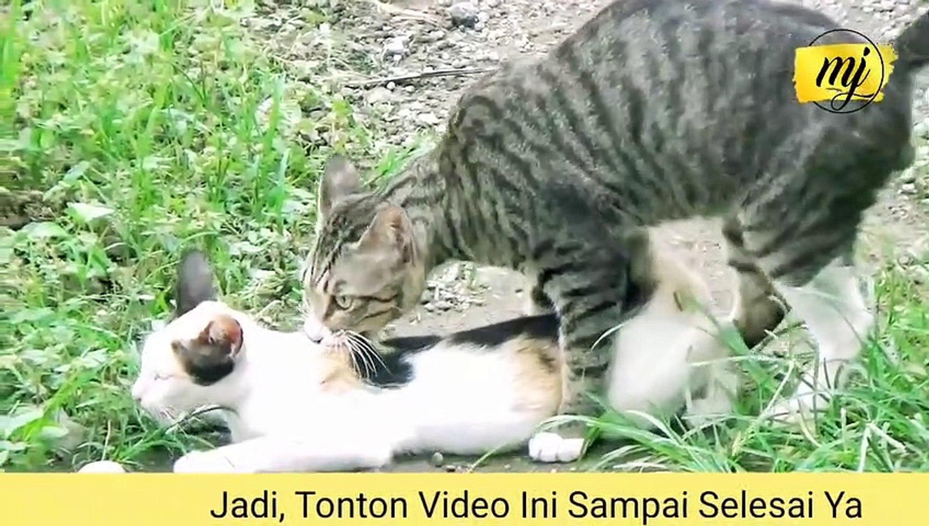 langka video kucing kawin full dari awal sampai akhir