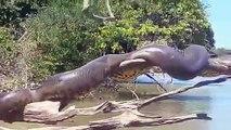 Un énorme anaconda se dore la pilule sur une branche