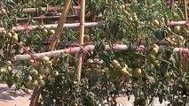 ชาวบ้านสกลนคร ปลูกมะเขือเทศขายเมล็ดส่งนอก อึ้ง! กิโลละ 7 พันบาท