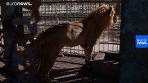 Sudan'da hayvanat bahçesinde açlıktan kırılan aslanlara gönüllüler yardım etti