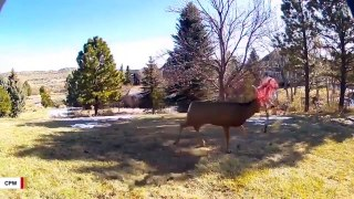 Colorado Authorities Warn Residents After Buck Seen With Net Tangled In Antlers