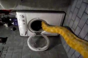 Cet énorme python fait la sieste dans le lave-linge