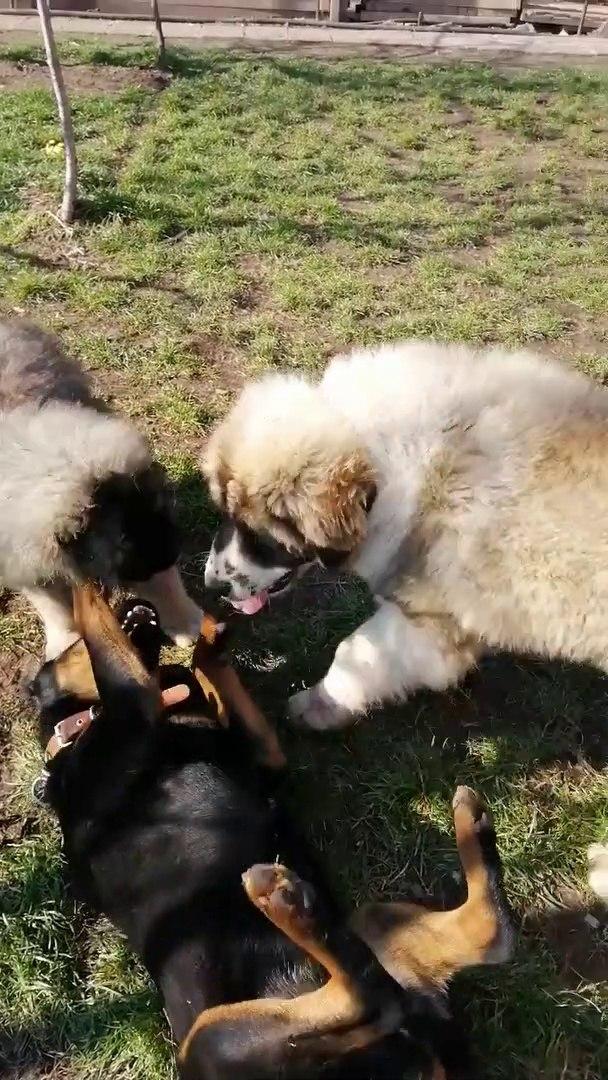 KAFKAS COBAN KOPEGKLERi vs ROTTWEiLLER - CAUCASiAN SHEPHERD DOGS vs ROTWEiLLER
