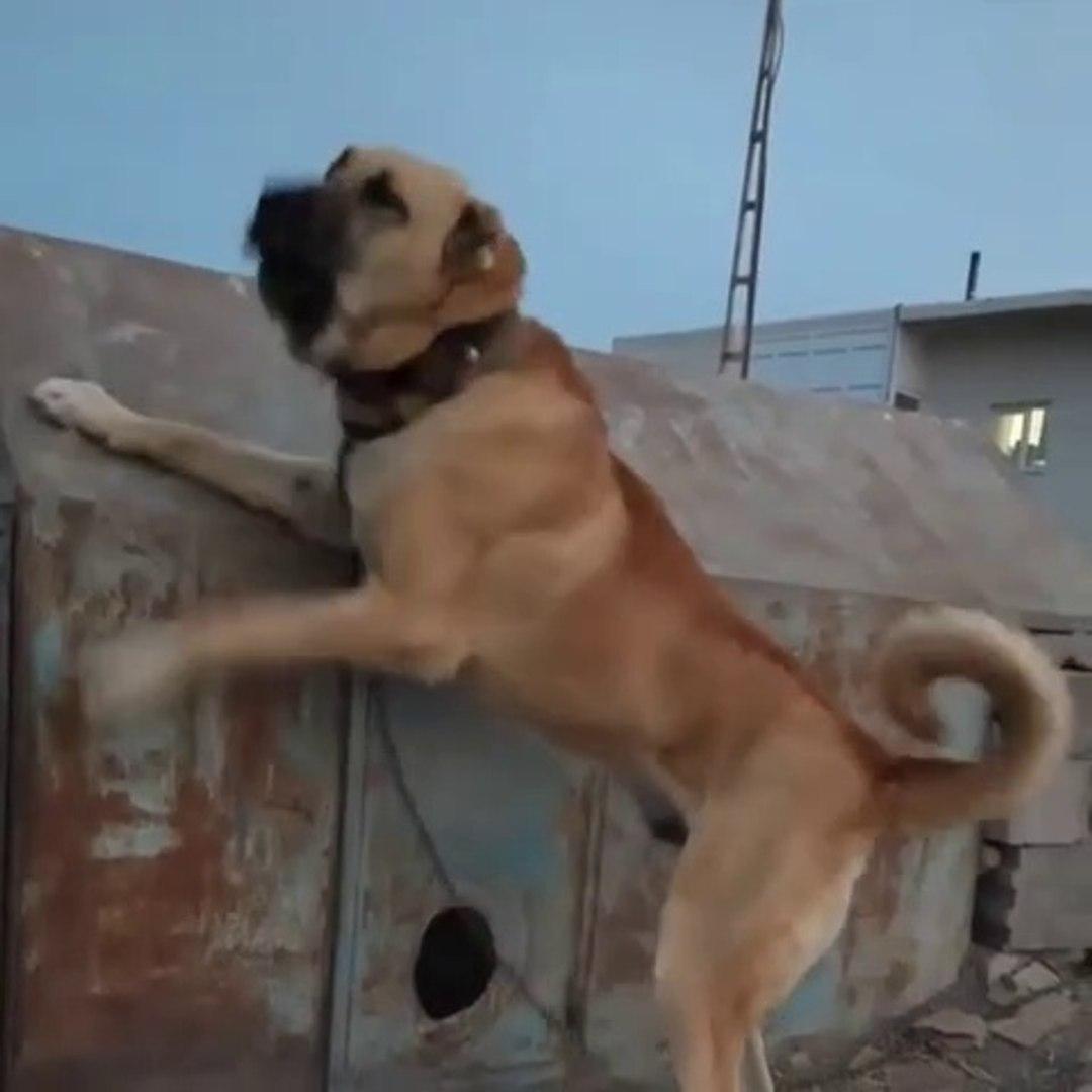 DEV ANADOLU COBAN KOPEGi BAHCEDE - GiANT ANATOLiAN SHEPHERD DOG in GARDEN