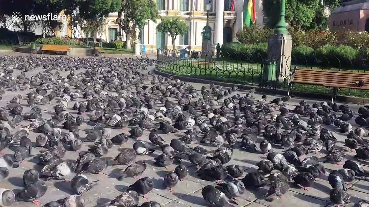 If you're scared of pigeons you may want to look away now