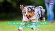 Quel est la race de chien préférée des Français  ?