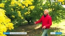 Côte d'Azur : une récolte de mimosas exceptionnelle