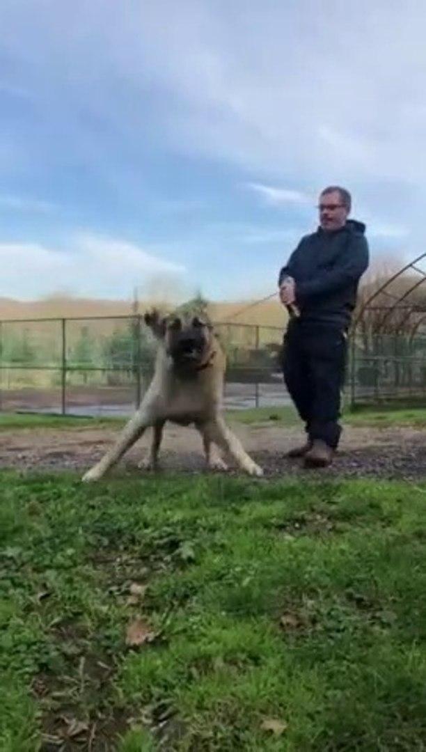 DEV ADAMCI ANADOLU COBAN KOPEGi - ANGRY GiANT ANATOLiAN SHEPHERD DOG