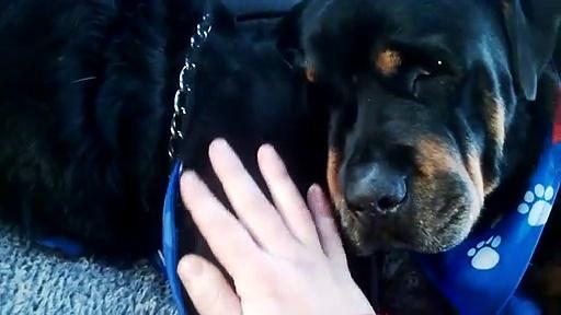 Rottweiler deita-se ao lado do irmão