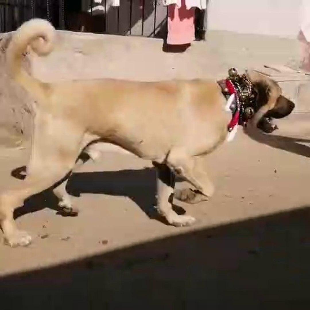AKSARAY MALAKLI COBAN KOPEKLERi - MALAKLI SHEPHERD DOGS