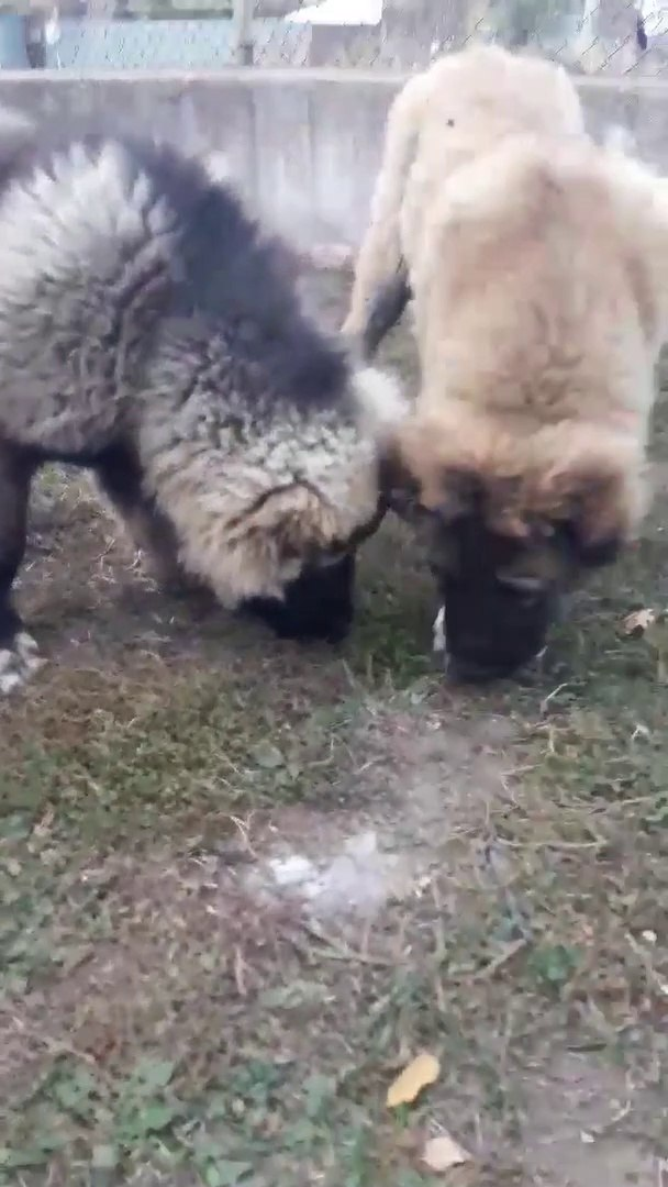 SEViMLi KAFKAS COBAN KOPEGi YAVRULARI - CUTE CAUCASiAN SHEPHERD DOG PUPPiES