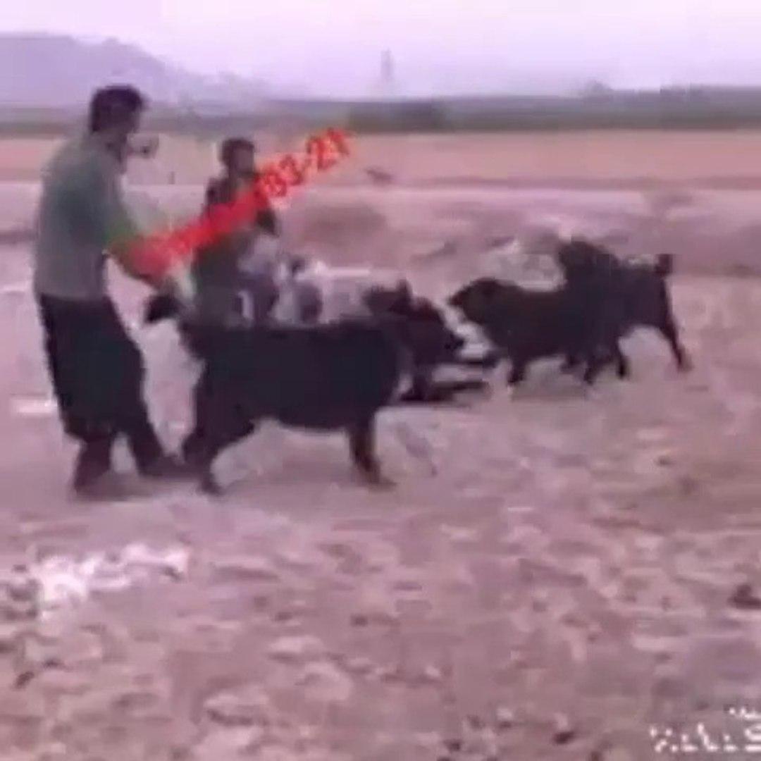 iRAN SARABi COBAN KOPEKERiNi ZOR AYIRDILAR - iRANiAN SARABi SHEPHERD DOG VS