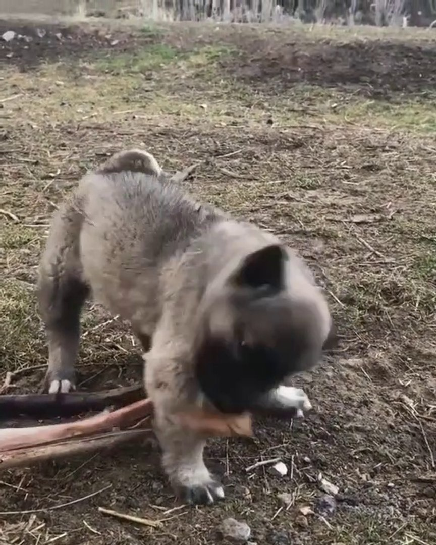 SiVAS KANGAL KOPEGi YAVRUSUNUN DiSLERi KASINIYOR - KANGAL SHEPHERD DOG
