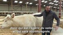 """""""Idéale"""": l'égérie du salon de l'Agriculture 2020 est une Charolaise"""