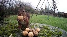 Un écureuil cache des noix dans sa réserve