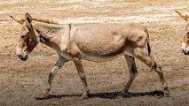 Trafic de peaux d'ânes au Kenya : l'enfer des animaux tués pour la médecine chinoise