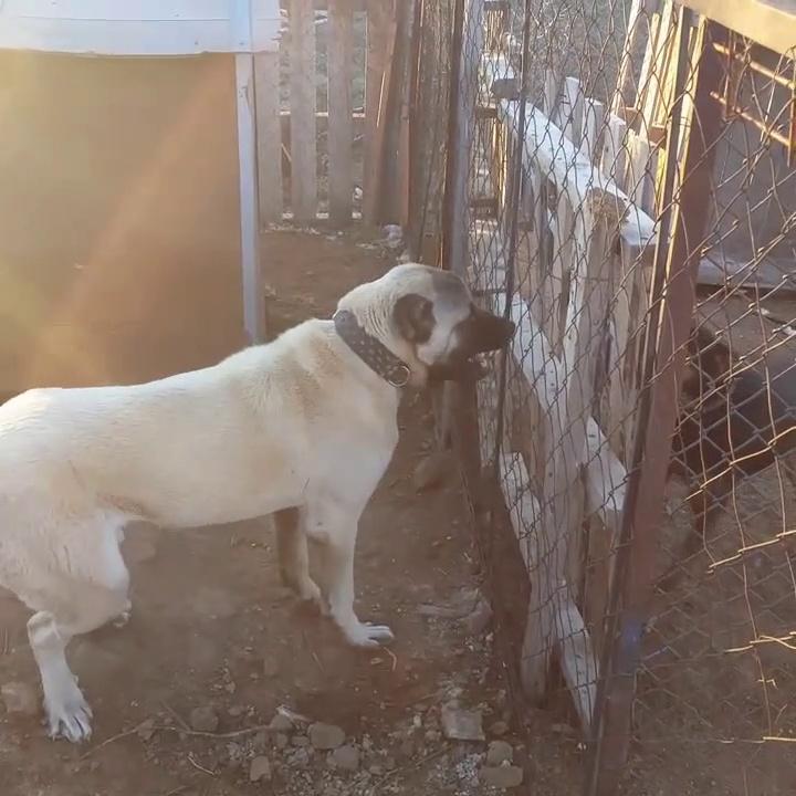 ROTTWEiLER KANGAL ATISMASI – KANGAL DOG VS ROTTWEiLER DOG