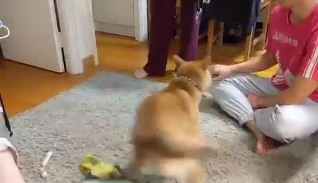 Dog Spins Quickly as He Gets Excited to Get Out and Play