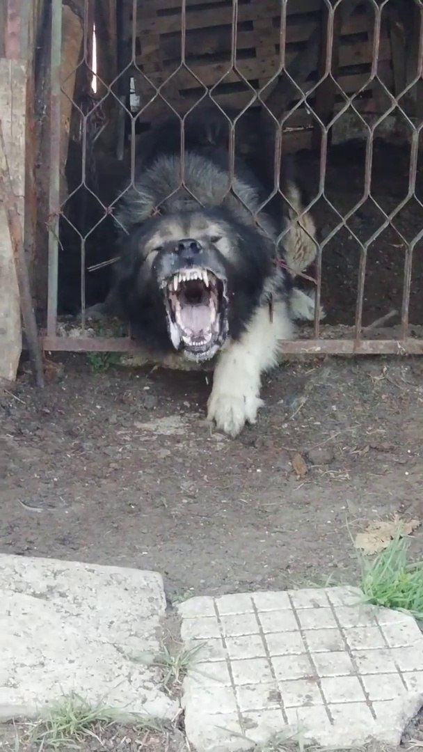 KAFKAS COBAN KOPEGiNi COK KIZDIRMISLAR - ANGRY CAUCASiAN SHEPHERD DOG