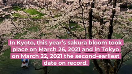 In Japan, The Records of The Earliest Cherry Blossom Bloom is Broken...