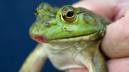 Why frogs' tongues are the ultimate weapon