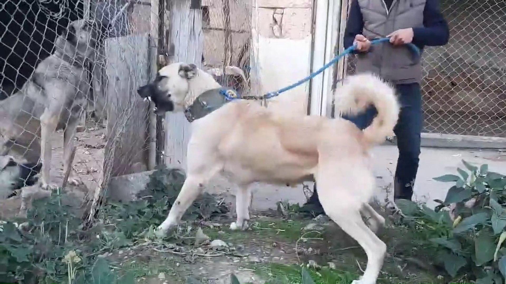 DiSi KANGAL KOPEGi ATISMA YAPARSA - FAMELA KANGAL SHEPHERD DOG VS