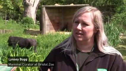 A baby gorilla is being raised by a surrogate at Bristol Zoo