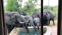 Des dizaines d'éléphants assoiffés viennent lui vider sa piscine