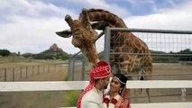 Une girafe tente de voler le chapeau de ce marié