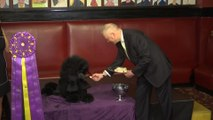 Westminster Kennel Club Dog Show, Best In Show winner, Siba the Poodle