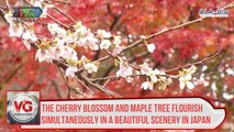 The cherry blossom and maple tree flourish simultaneously in a beautiful scenery in Japan