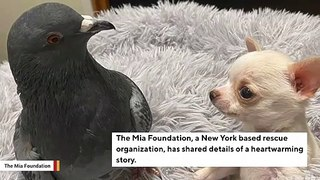 Special Needs Chihuahua And Pigeon Become BFFs In Heartwarming Story