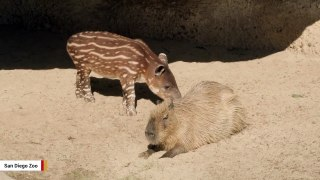 Baby Tapir And Capybara Become Unlikely Friends