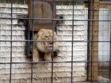 Ce lion n'aime pas être dérangé par les visiteurs du zoo
