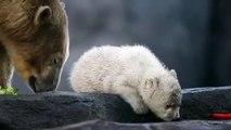 Bébé ours blanc  sa première sortie au Zoo de Vienne !