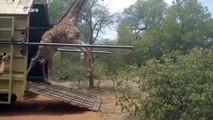 Cette girafe n'a pas maitrisé sa sortie du camion